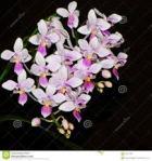 Phalaenopsis genus of Orchid